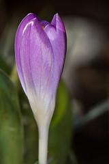 Crocus 25Feb18-1.jpg (castledriveuk) Tags: miscellaneous macro flowers plants complete