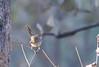 Plain prinia (praveen.ap) Tags: plain prinia plainprinia whitebrowed wrenwarbler whitebrowedwrenwarbler rajasthan ranthambhore ranthambore zone7 7