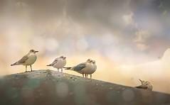 libertarians.. (salihseviner) Tags: libertarians seagulls birds sea sky