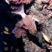 Cheilodipterus macrodon Tiger cardinalfish #marineexplorer