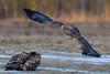 Haliaeetus_albicilla (eric-d at gmx.net) Tags: seaeagle eric seeadler eagle adler ng