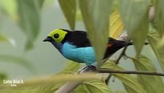 Tángara del paraiso- Tángara chilensis- PARADISE TANAGER (Carlos Alberto Arias A.) Tags: amazonia tángara del paraiso chilensis paradise tanager mocoa putumayo colombia canon7d markii bird