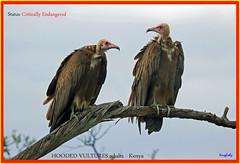 (No Count) Critically Endangered Hooded Vultures - [ Masai Mara NP, Kenya ] (tinyfishy's World Birds-In-Flight) Tags: no count critically endangered hooded vulture masai mara kenya africa