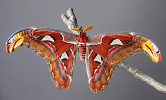 Attacus atlas (Charaxes14) Tags: lepidoptera insect kelebek insecta arthropoda arthropod lighting shadow macro animal spring moth beautiful wonderful amazing fresh cloudy beauty nature bokeh saturniidae saturnid attacus atlas red orange transparent grey background male antenna wings