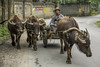 Buffalo farmer (Gregory Michiels Photography) Tags: buffalo yangshuo guilin china guangxi portraits guide tour explore adventure travel animal traditional photography