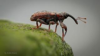 Rüsselkäfer (Curculionidae) - Größe 4 mm