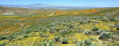 Rolling Fields of Flowers (Non Paratus) Tags: poppies desert californiapoppy antelopevalley california eschscholziacalifornica flowers poppyreserve lancaster hills panorama mojave