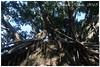 IMG_5576 (sheesen) Tags: canoneos350d ef20mmf28usm 安平 安平樹屋 日本時代 鹽場倉庫 失落 十九世紀 雀榕 紅磚牆 氣根增生 盤踞牆面 屋頂掉落 榕樹進駐 人類消失 植物 佔領地球 樹的精靈 跨越百年 zeelandia 20180102