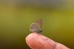 Dingy Lineblue (sreejithkallethu) Tags: dingylineblue butterflies neeravil butterfliesofneeravil kollam kerala nature