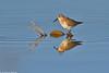 Dunlin - Pilrito-de-peito-preto (anpena) Tags: birds waders dunlin