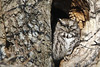 little owl (DML0mba) Tags: owl kapechick capecod canon capelife northern screach camouflage screech