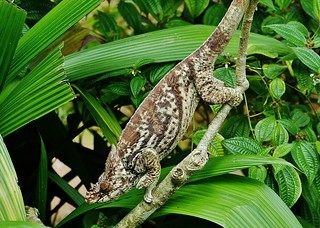 Parson's Chameleon (M)