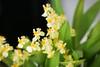 Oncidium Tiny Twinkle (blumenbiene) Tags: orchidee orchideen orchids orchid flowers flower blüten blüte plant pflanze oncidium tiny twinkle gelb yellow orchideenblüten