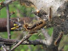Brown-tail moth caterpillars (Philip_Goddard) Tags: southwestengland england unitedkingdom britain british britishisles greatbritain uk europe moths lepidoptera insecta insects invertebrates animals nature naturalhistory browntail euproctischrysorrhoea euproctis lymantriidae caterpillar larva