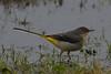 Grey Wagtail. (stonefaction) Tags: birds nature wildlife scotland angus grey wagtail riverside park