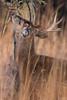 Unhooked (jmishefske) Tags: 2018 buck nature d500 center whitnall milwaukee franklin dropped january antler wildlife rack wisconsin shed park wehr whitetail deer nikon