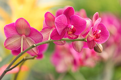 Orchids (mclcbooks) Tags: flower flowers floral orchid orchids denverbotanicgardens colorado pink