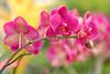Orchids (mclcbooks) Tags: flower flowers floral orchid orchids denverbotanicgardens colorado pink