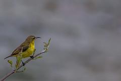 Olive-backed sunbird (Female) (Jnarin) Tags: cinnyrisjugularis kualagulabirdsanctuary malaysia nectariniidae olivebackedsunbird peninsularmalaysia yellowbelliedsunbird
