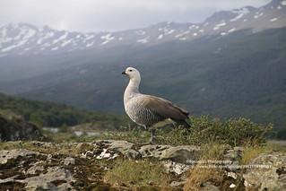 Tierra del Fuego NP, goose