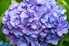 Purple inspiration (sal tinoco) Tags: blue daytime flower hydrangea hydrangeas leaf leaves purple shadow white nature fantasticflower