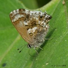 Strymon davara (LPJC) Tags: quitacalzones manuroad manu peru 2016 lpjc butterfly hairstreak strymondavara