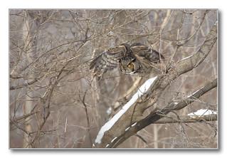 1E1A3195-DL   Grand-duc d'Amérique / Great Horned Owl.
