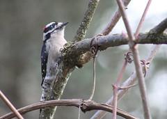 IMG_6514 Downy Woodpecker male (Jon. D. Anderson) Tags: birdsofwashington bird washingtonbirds woodpecker downywoodpecker picoidespubescens