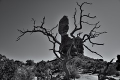 Hidden Behind an Old Tree (Black & White, Arches National Park)