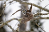 Northern Hawk Owl-45187.jpg (Mully410 * Images) Tags: avian birding winter birds birder cold trees snow hawkowl owl saxzimbog bird birdsofprey birdsinflight birdwatching northernhawkowl raptor lichen bog