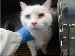 A699142 (yycpetrecovery) Tags: cat cas white dmh dsh foundsighted