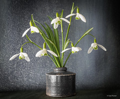 Before the snow drops (smpowh) Tags: flower plant snowdrop stilllife
