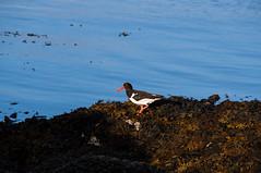 Tjeld (Stjerneøye) Tags: tjeld oystercatcher tang fjære fugl trekkfugl vadefugl