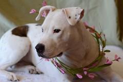 Spring Pebble 4 (Grace B. H.) Tags: dog dogs bullybreed bullybreedmix mixedbreed mutt rescuedog white whitedog flowercrown heterochromia americanstaffordshireterrier amstaff spring