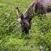 Nashville Zoo 08-21-2016 - Sicilian Donkey 1
