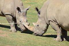 DSC_4112 (Andrew Nakamura) Tags: animal mammal rhino rhinoceros whiterhinoceros southernwhiterhinoceros southernwhiterhino grazing rhinojuvenile sandiegozoosafaripark safaripark escondido