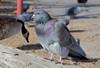 Rock Dove (Columba livia); Albuquerque, NM, Tingley Beach Park [Lou Feltz] (deserttoad) Tags: bird wildbird dove nature newmexico park refuge desert behavior pigeon