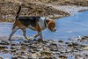 (Frank Shepherd) Tags: eos canon70d canon animal hound water sea coast stones pebbles sand pet beagle dog beach
