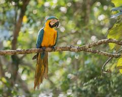 Blue-and-Yellow Macaw (Tris Enticknap) Tags: blueandyellowmacaw manú peru nikond750 southamerica nikkor300mmf4epfedvrlens araararauana manúbiospherereserve manúnationalpark tropicalrainforest