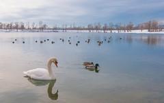 lake Zajarki (110) (Vlado Ferenčić) Tags: lakes vladoferencic swans vladimirferencic ducks lakezajarki zaprešić hrvatska croatia nikond90 tokina12244