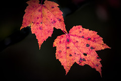 Being Together (Landscapes By Jean-Marc) Tags: leaves autumn colors maple