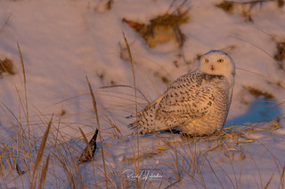 Snowy Owls of New Jersey | 2017 - 32