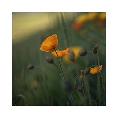Need some color in my life! (VanveenJF) Tags: bokeh canon fd ssc f14 sony a7ll flower poppy grass alberta stalbert