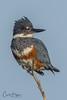 Female Belted Kingfisher (Carol Huffman) Tags: birds bird wildlife outdoors nature beltedkingfisher female fl florida