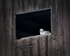 lonely chicken (pk5dark) Tags: fenster henne stall