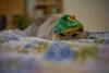 Hiding in the open (KaeriRin) Tags: cat catcafe akihabara tokyo japan japanese japanesecat christmas sleeping sony 7m2 sony7m2 7mii voigtlander 40mm 14 mc 40mm14mc adapted lens mmount