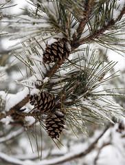 Pine Cones (WilliamND4) Tags: pinecone snow winter nikon d810 pine tree