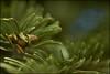 Detail - Részlet (Gaboristvan77) Tags: makró makro vollformat fenyö tanne grün zöld eos6dmkii ef100mm28usm