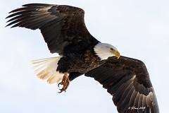IMG_7546 american bald eagle (starc283) Tags: starc283 flickr flicker wildlife eagle americanbaldeagle bird birding birds baldeagle nature naturesfinest outdoors outdoor canon canon7d 100400lens 100400 raptor lake fish