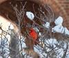 Snowy Cardinal (akintsy_photo) Tags: snow bird cardinal duke